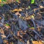 Extreme Heat Wiped out One Third of Australia's Spectacled Flying Fox Species