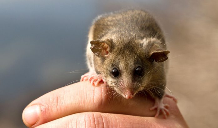 Bramble Cay Melomys Is The First Climate Change Mammal Extinction